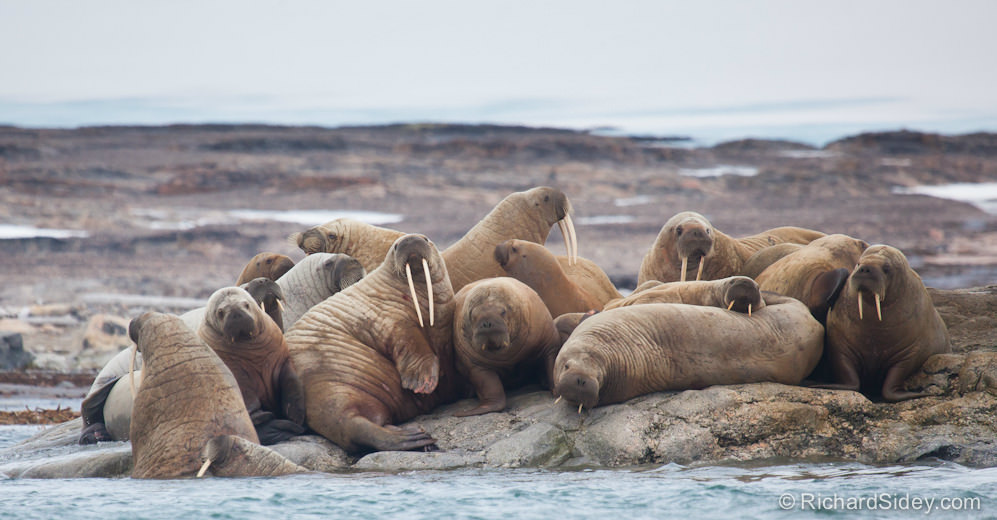Walrus, Photography by Richard Sidey