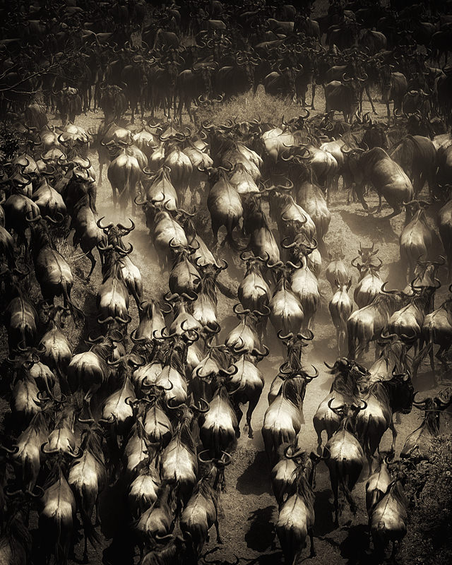 Rampaging Buffalos, Photography by Billy Dodson