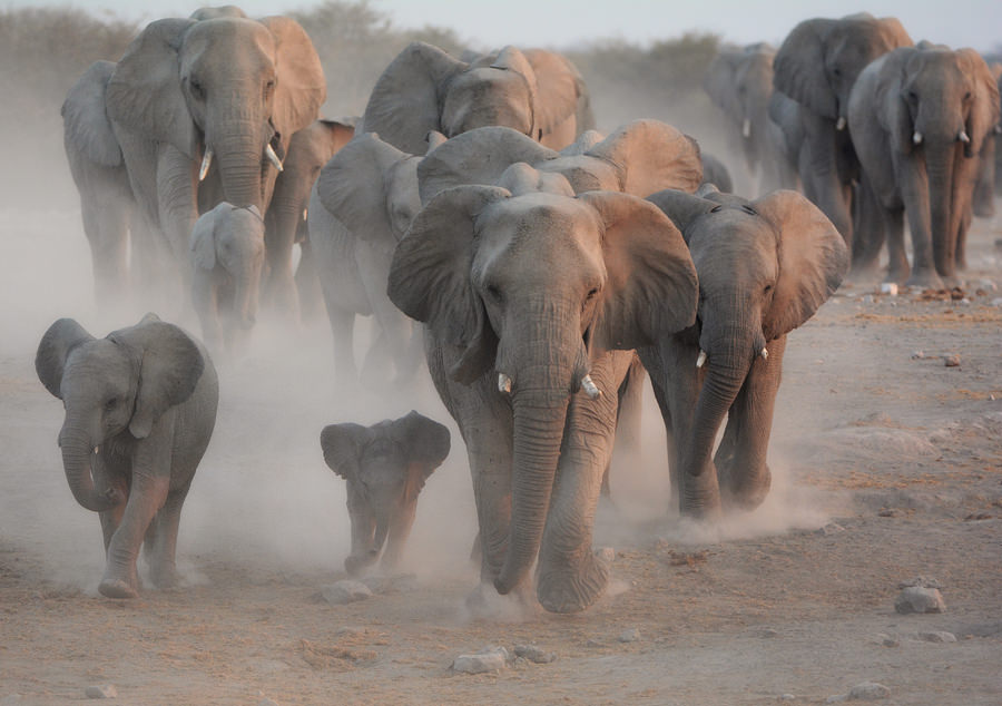 A herd of elephants sprinting towards water hole, Photography by Billy Dodson