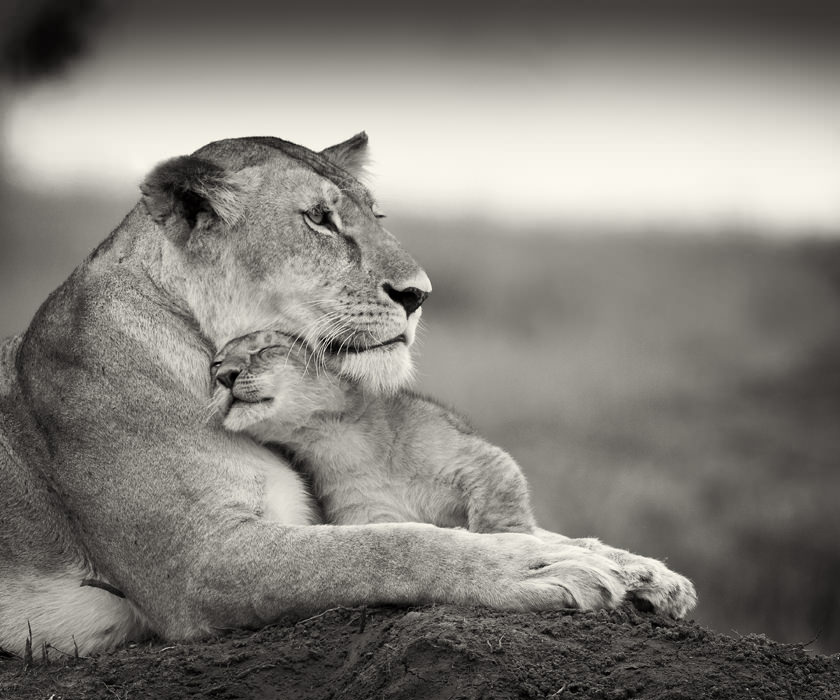 Lion Cub Plays with Mother, Photography by Billy Dodson