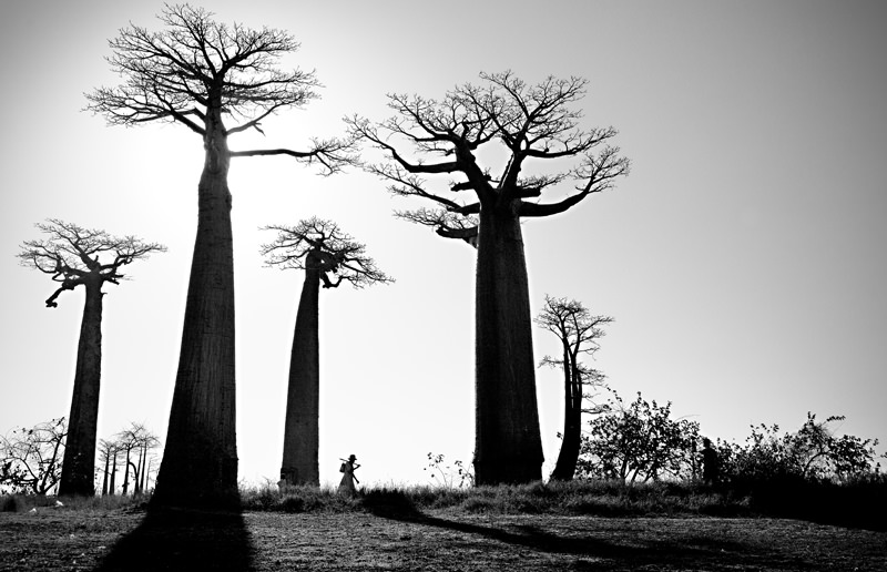 Baobab Trees, Photography by Jody MacDonlad